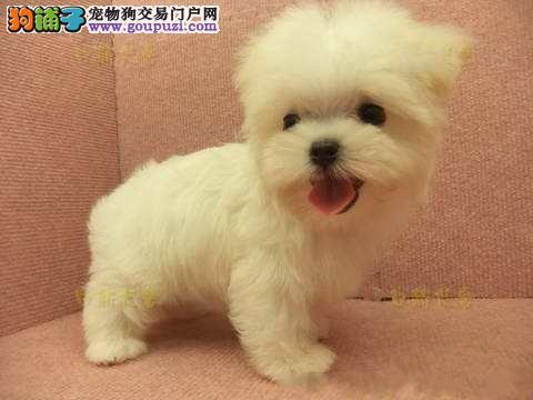 马尔济斯犬出售 哪里出售马尔济斯犬 马尔济斯犬价格
