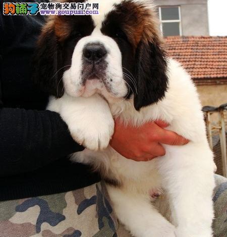 武汉出售极品圣伯纳幼犬完美品相签订终身协议
