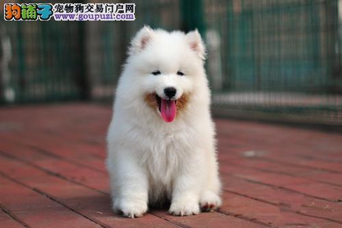 转让雪白色微笑天使般的徐州萨摩耶可上门看狗