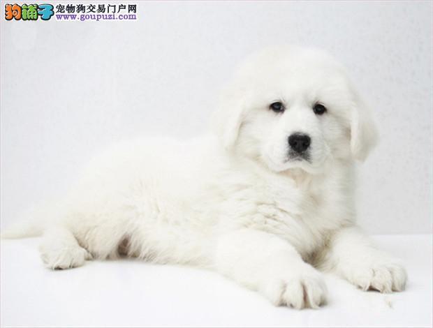 极品、聪明的大白熊在这里、优惠纯种和健康、CKU认证