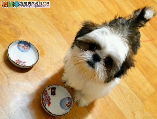 西施犬幼犬出售中、纯度100%保证健康、可签保障协议