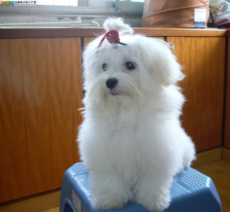 马尔济斯幼犬热销中,专业繁殖包质量,签订正规合同