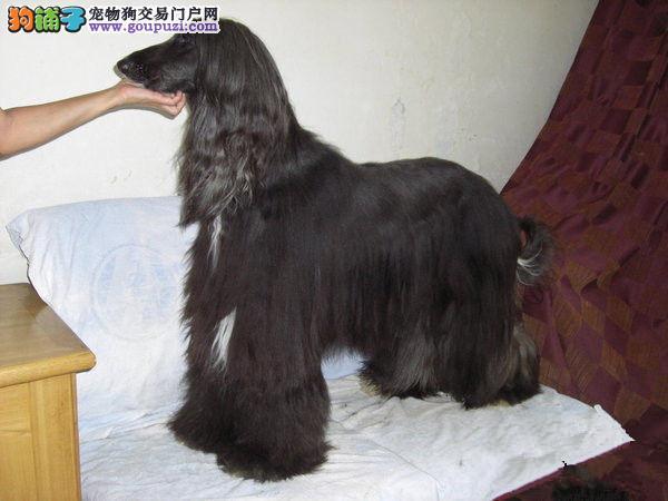 完美品相血统纯正阿富汗猎犬出售品质优良诚信为本