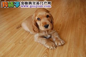 深圳哪个狗场比较正规 深圳在哪个狗场买得到可卡犬