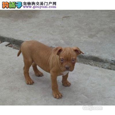 100%纯种健康的成都比特犬出售质量三包多窝可选