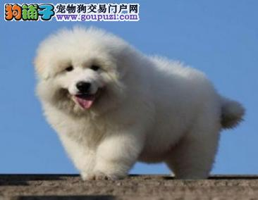 大白熊幼犬 王者风范 品相纯正保证健康品质