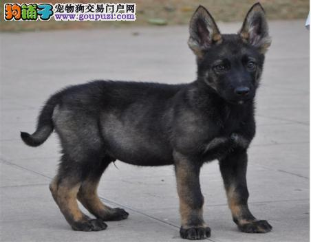高端昆明犬幼犬 一宠一证证件齐全 全国送货上门