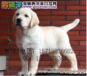 CKU认证犬舍 专业繁殖 拉布拉多犬 购买有保证
