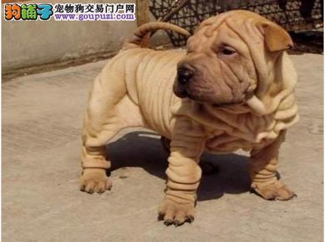 正规犬舍繁殖纯种沙皮狗犬、诚信交易 可签协议