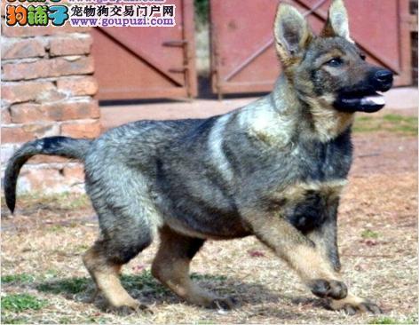 最大犬舍出售多种颜色昆明犬微信咨询视频看狗
