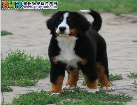 顶级优秀的纯种伯恩山热销中爱狗人士优先狗贩勿扰