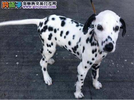 纯种犬繁殖基地出售顶级大麦町幼犬 签订协议售后质保