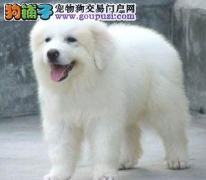 纯种大白熊购买可签订协议质保终身CKU认证血统