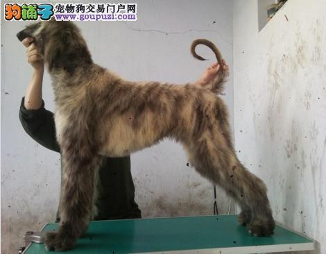 完美品相血统纯正苏州阿富汗猎犬出售可刷卡可视频
