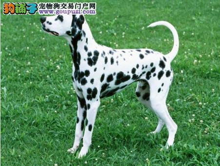 高品质斑点狗带血统出售中 终身质保质量三包 可签协议