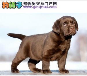 100%质量保证拉不拉多犬纯种 质量保证