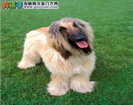 CKU犬舍认证出售高品质聊城阿富汗猎犬微信咨询看狗