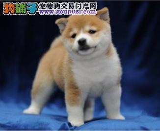 纯种柴犬出售 正规狗场 签订质保协议 全国邮