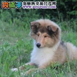 苏牧幼犬 纯种健康专业狗场繁殖 签协议 可送货上门