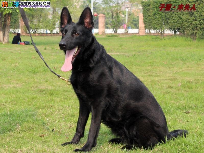 专业正规犬舍热卖优秀广东比牧优惠出售中狗贩子勿扰