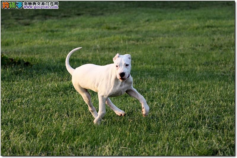 北京纯种犬繁殖基地出赛级幼犬公母全保健康可刷卡可送