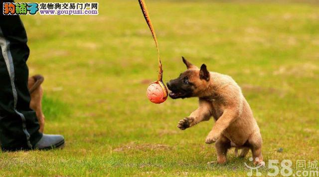 纯种狼狗幼犬质保终身签合同可上门选