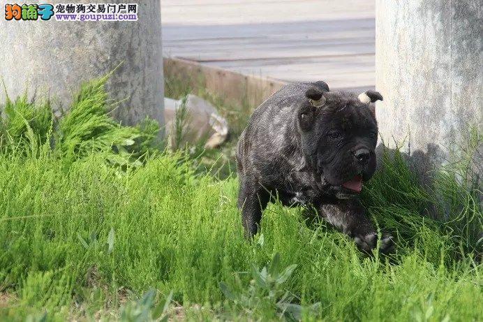 嘉兴出售纯种卡斯罗幼犬 多只可选 健康保障