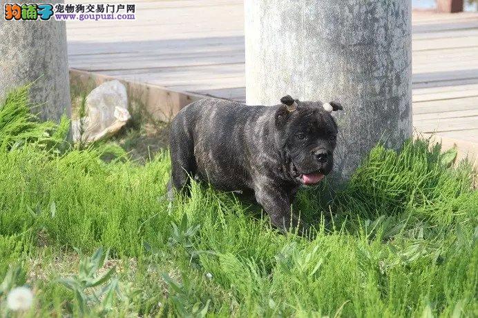大型专业培育卡斯罗犬幼犬包健康微信咨询看狗