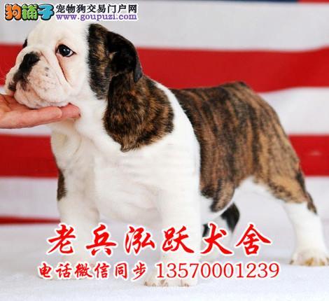 老兵犬舍 出售极品英国斗牛幼犬 健康三包