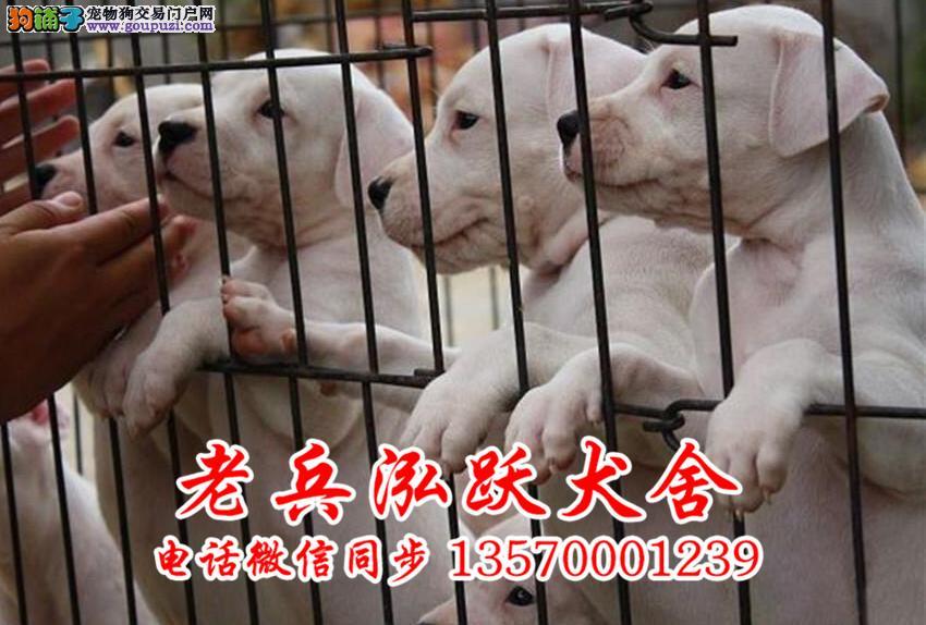 老兵犬业 出售纯种杜高幼犬 健康保证 诚信经营