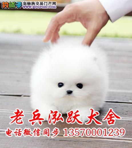 老兵犬舍 出售精品哈多利小体博美 健康活泼好魅力