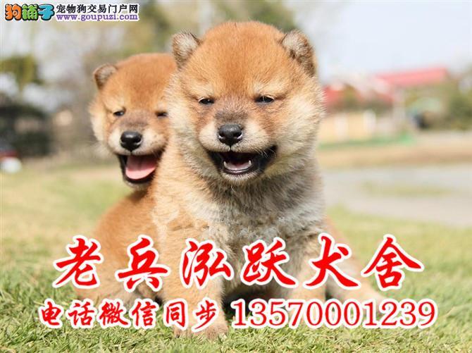 老兵犬业 出售纯种健康柴犬、终身质保、饲养指导
