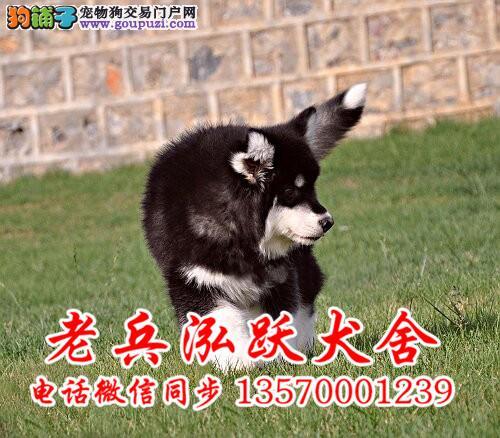 高品质阿拉斯加幼犬 霸气十足绝对拉风 做完疫苗驱虫
