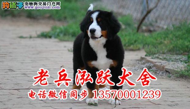 老兵犬业 出售精品伯恩山 保纯保健康 可签协议