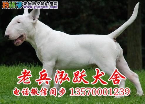纯种牛头梗犬舍 免费训练指导 可签购犬协议