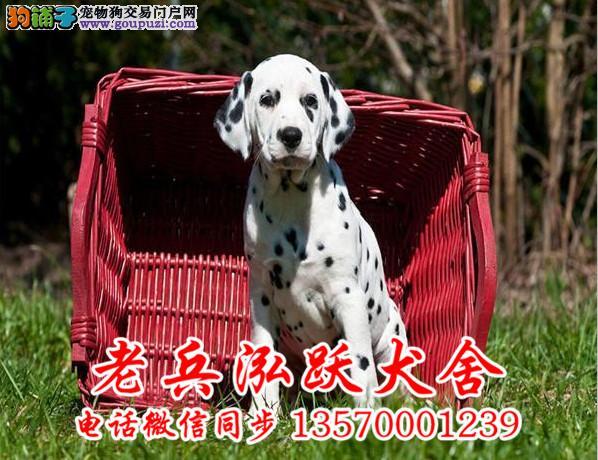 老兵犬舍 出售高品质斑点幼犬 疫苗做完 质量三包