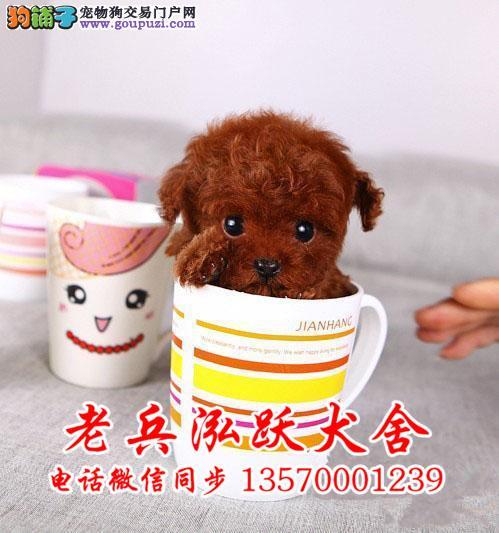 精品茶杯犬 保纯保健康 疫苗和驱虫均已做完 可签协议