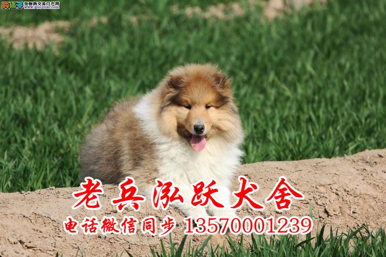 老兵犬舍 出售高品质苏牧幼犬 质量三包 可签协议