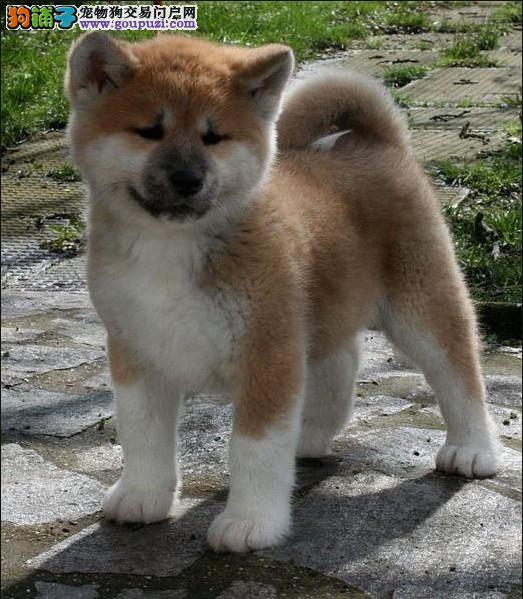 CKU犬舍认证兰州出售纯种柴犬爱狗人士优先