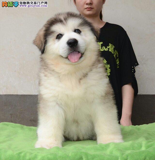 实物拍摄阿拉幼犬,多种颜色多个价位可挑选,协议质保