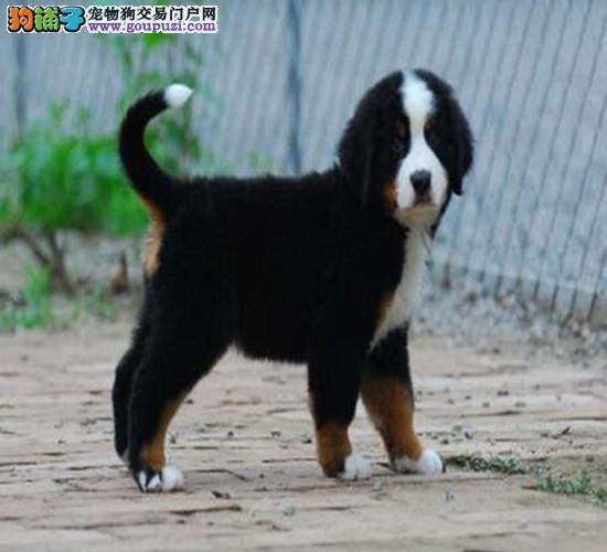 武汉知名犬舍出售多只赛级伯恩山诚信经营三包终身协议