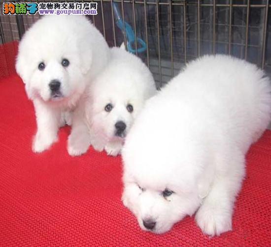 广州哪里有卖大白熊 白熊好不好养 大白熊价格价格