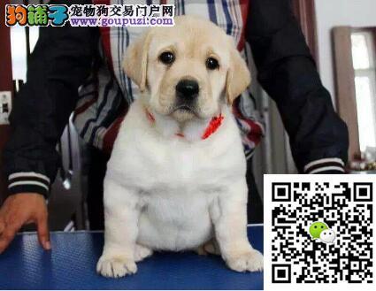 憨厚大气的拉布拉多幼犬出售温和开朗智商极高速速购买