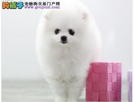 诚信交易、纯种博美犬、健康终身保障、签协议送狗用品