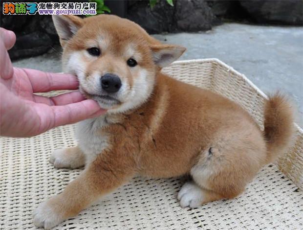 权威机构认证犬舍 专业培育柴犬幼犬保证品质完美售后