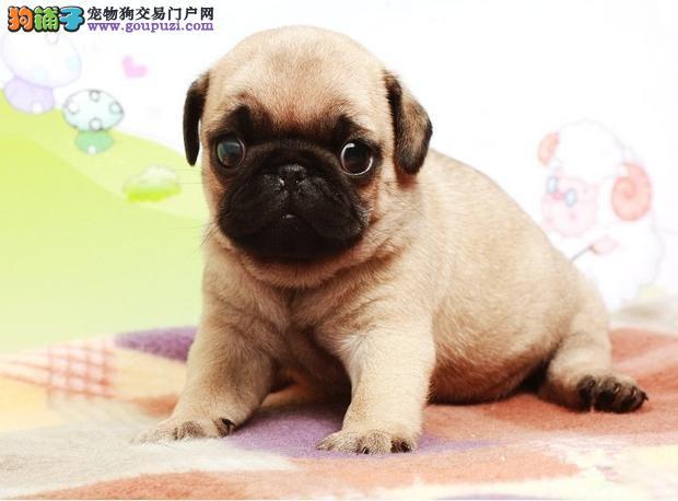甘南州热销巴哥犬颜色齐全可见父母购犬可签协议