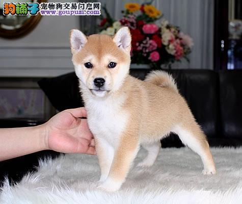 纯种柴犬幼犬、疫苗齐全包养活、购犬可签协议