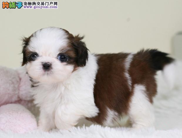 漂亮的狗狗小型伴侣犬适合居家西施小狗昆明售西施犬