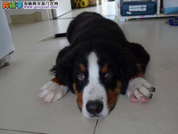 纯种伯恩山幼犬,温顺勇敢的大狗,家庭伴侣犬工作犬