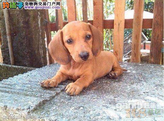 狗场出售纯种的腊肠幼犬